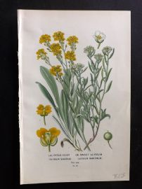 Edward Step 1897 Botanical Print. Gold Dust. Sweet Alyssum